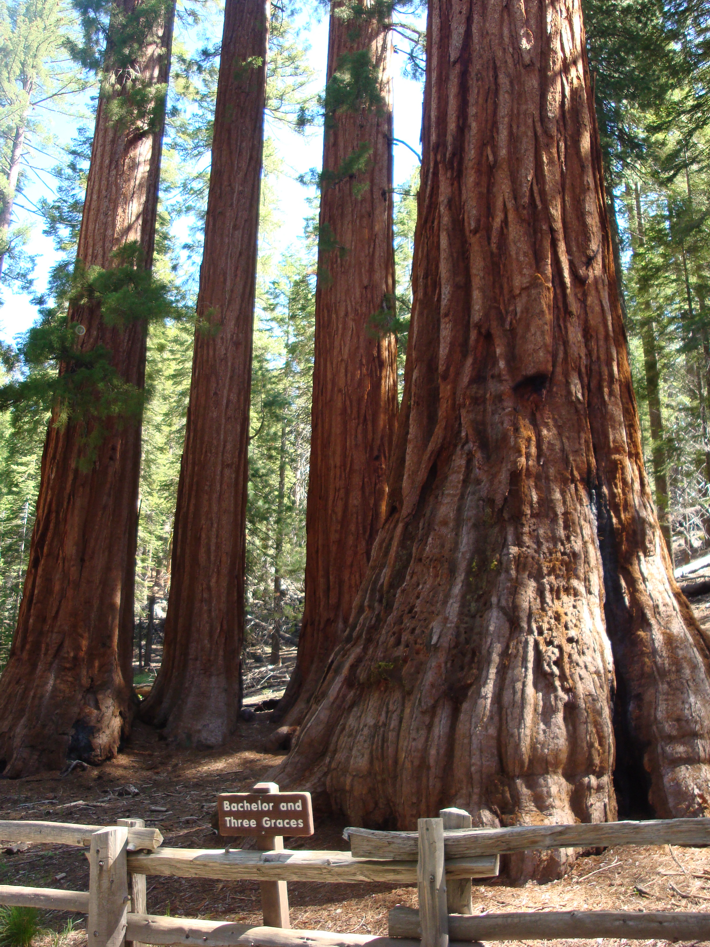 The Bachelor and The Three Graces - May 2008 - Mariposa Grove of Giant Sequoias. The Grove has been closed in 2015 for renovation and opened again in June 2018. The National Park Service removed all the roads through the grove and eliminated vehicular traffic as it was causing damage to the trees root systems.