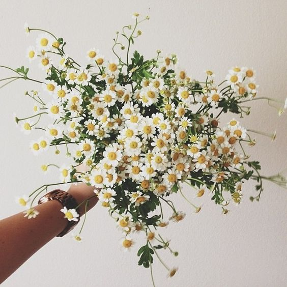 chamomile daisies - credit unknown