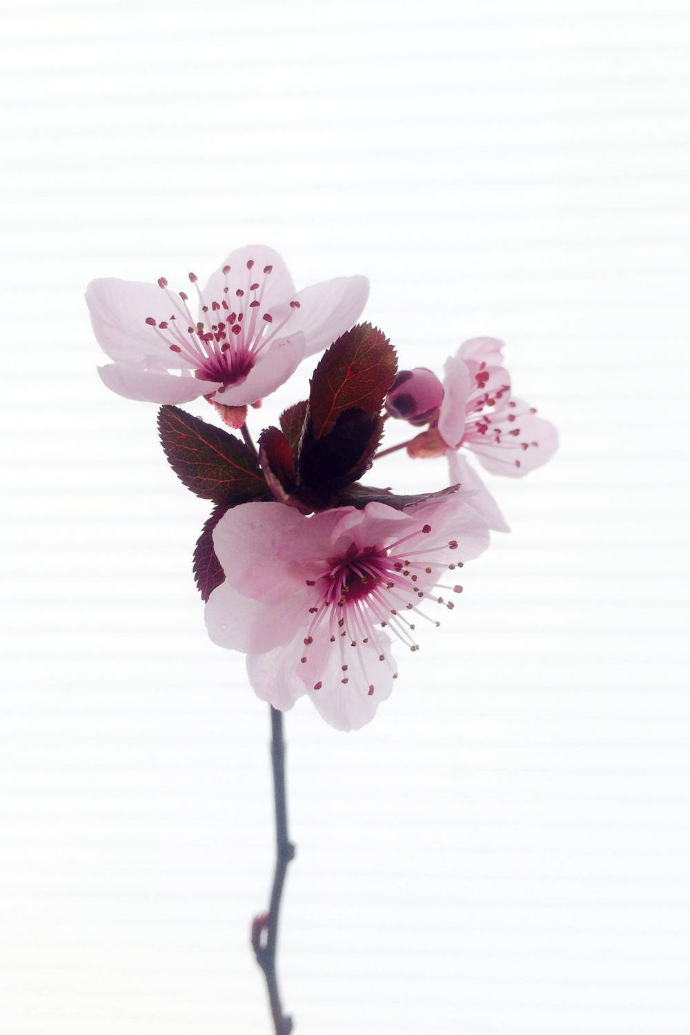 plum blossom - photo by Elly Joel
