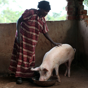 UGANDA LIVESTOCK MICROBUSINESS - PIG  Suggested Gift: $100   This gift gives an  impoverished family in Uganda    an ongoing source of nutrition and supplemental income.