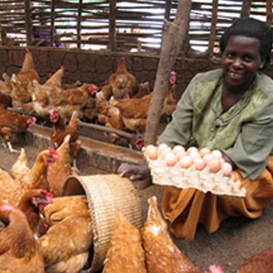 UGANDA LIVESTOCK MICROBUSINESS - 2 CHICKENS  Suggested Gift: $25   This gift gives an  impoverished family in Uganda    an ongoing source of nutrition and supplemental income.