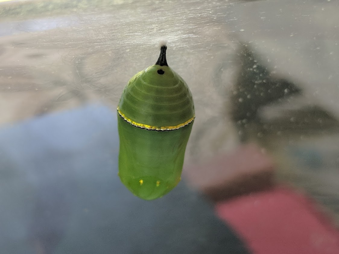 The chrysalis of the first monarch butterfly we raised. Two weeks later, a healthy adult butterfly was released in our native plant gardens!