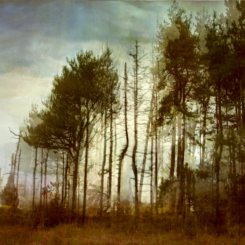 pines(square).jpg
