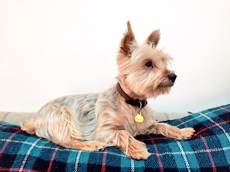 yorkshire-terrier-york.jpeg