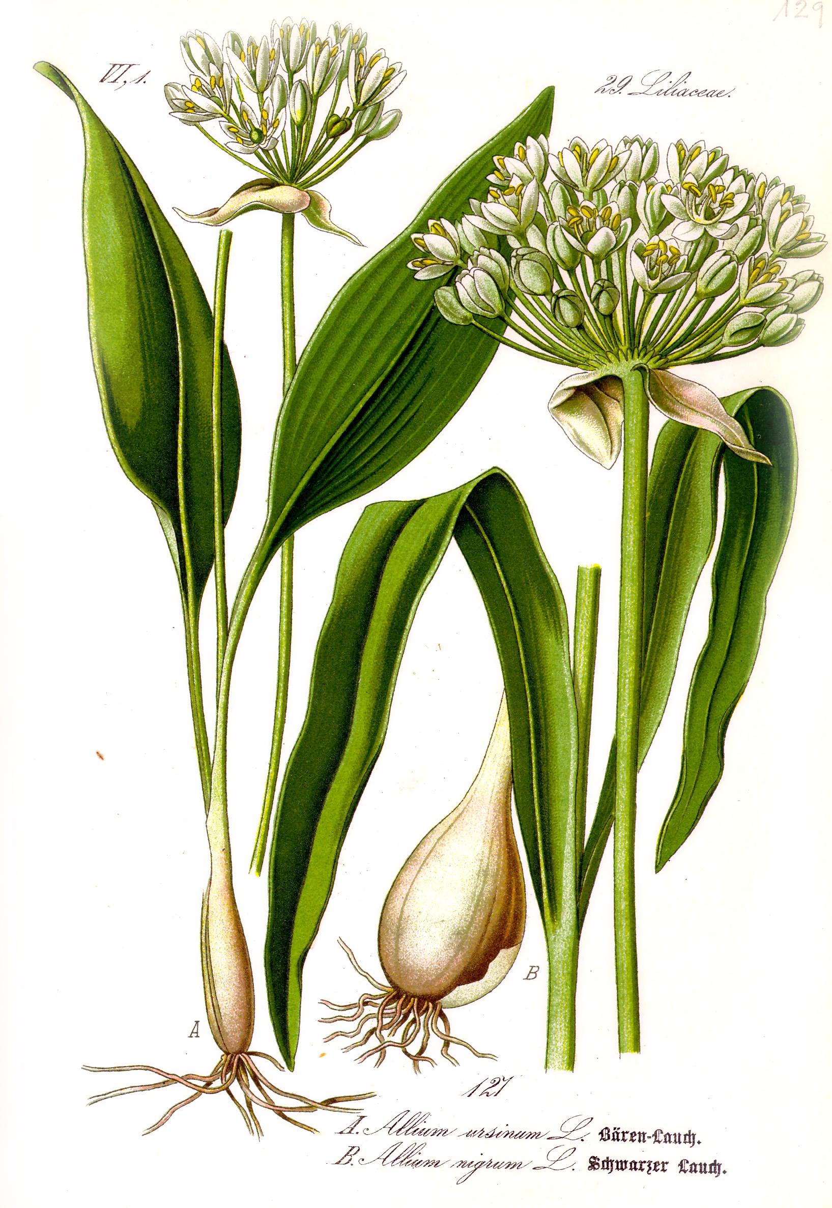 Illustration_Allium_ursinum1.jpg