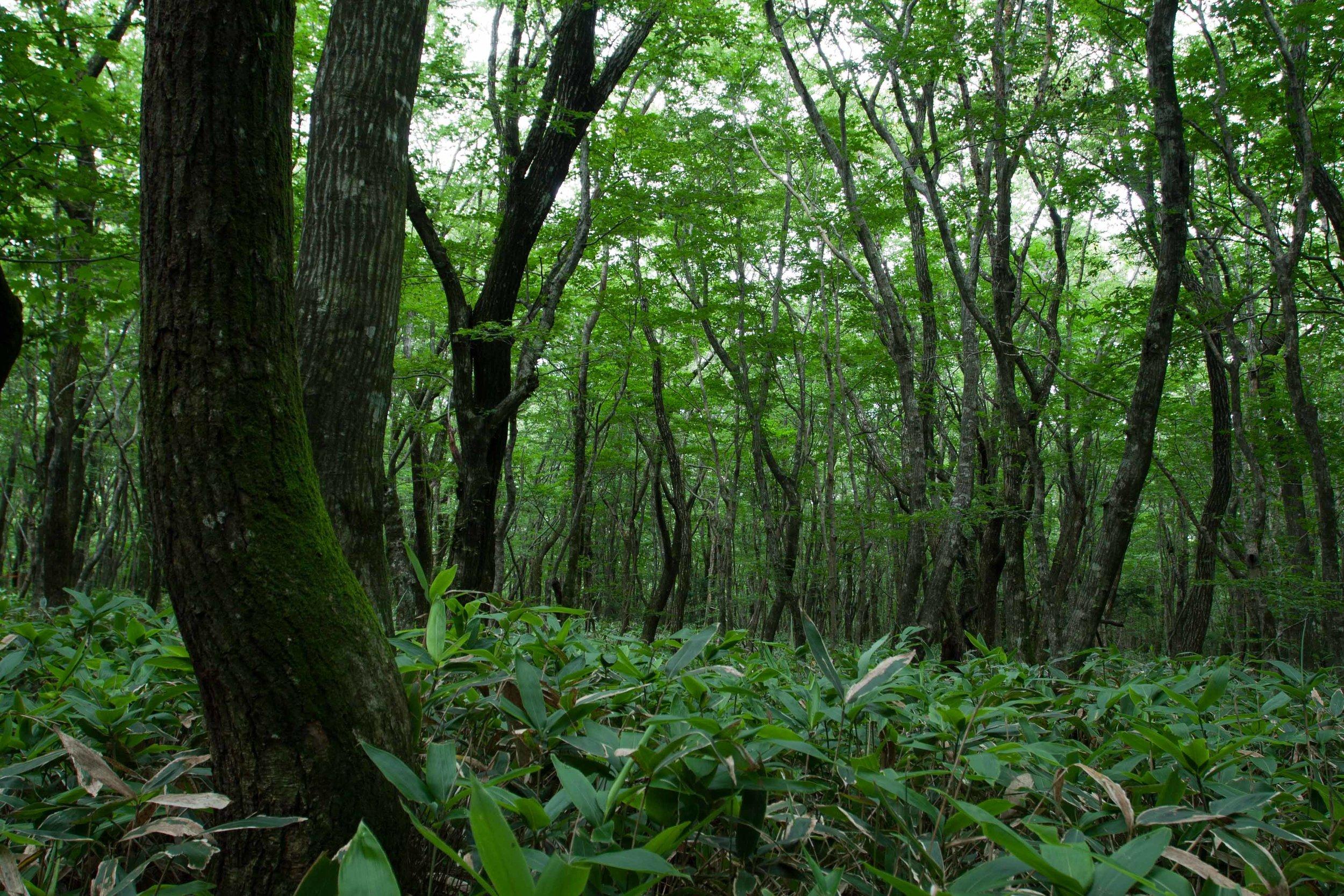 Woodland on Hallasan, Jeju Island, South Korea.