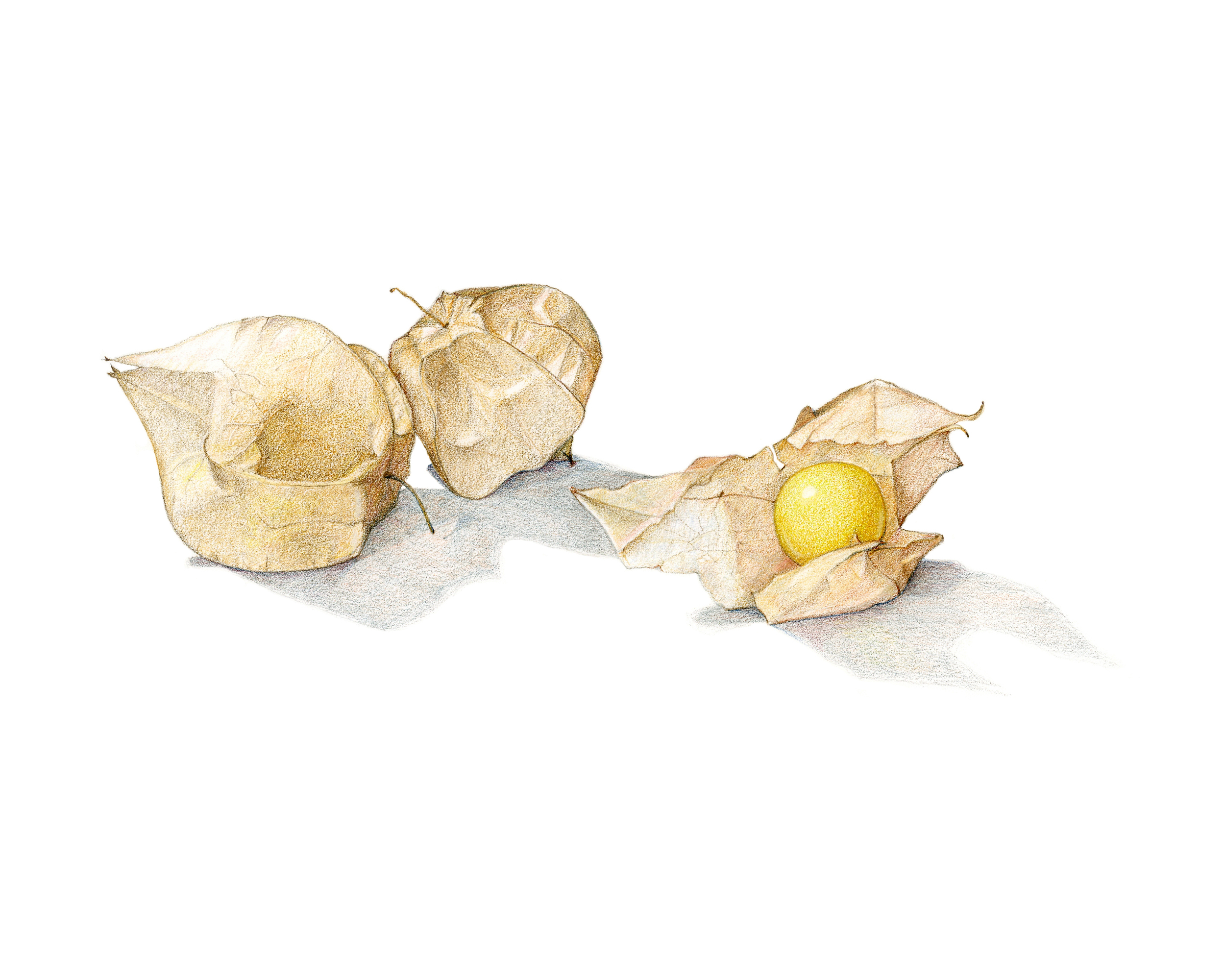 Ground cherries, colored pencil