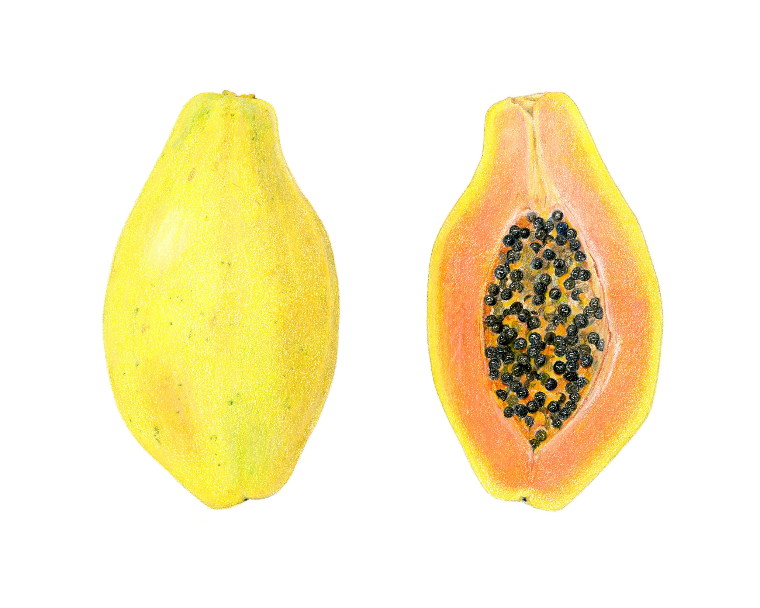 Papaya, colored pencil