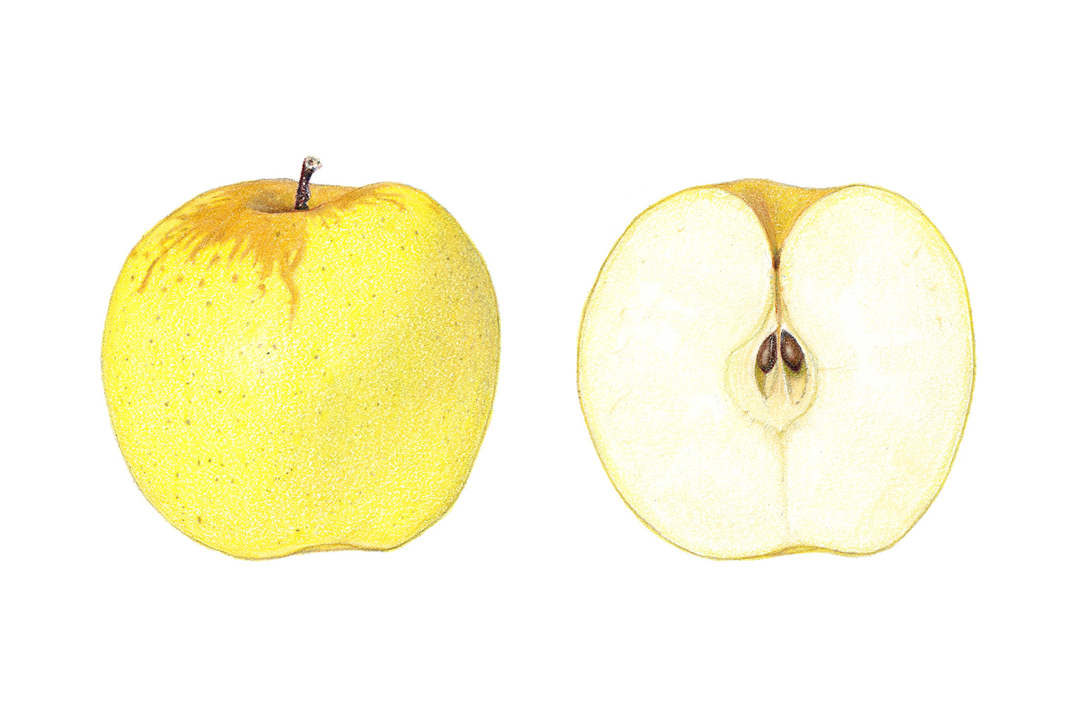 Golden delicious apple, colored pencil