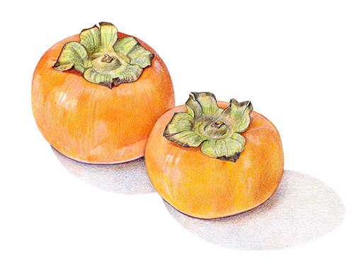 Fuyu persimmons, colored pencil