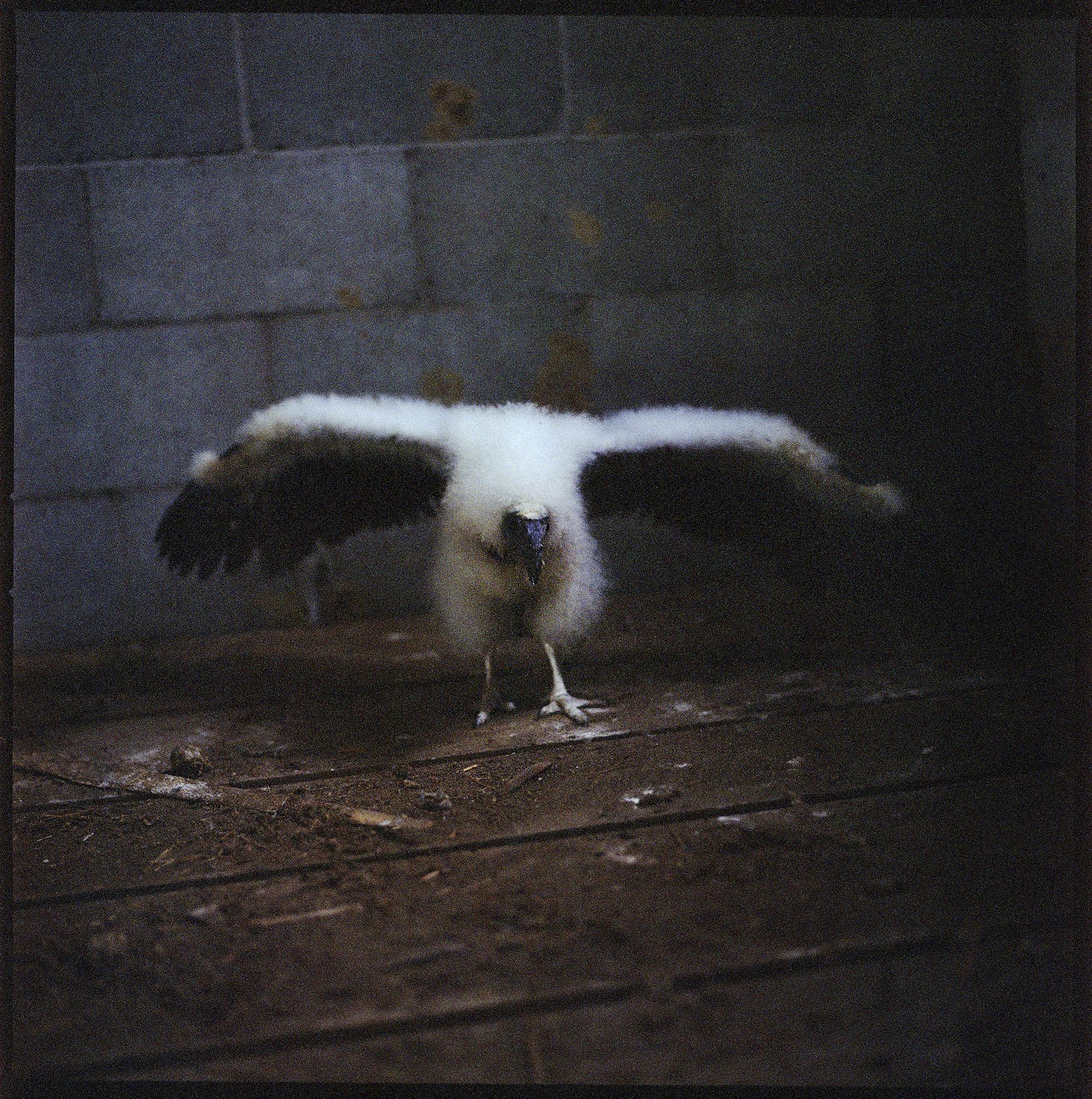 Turkey vulture chick