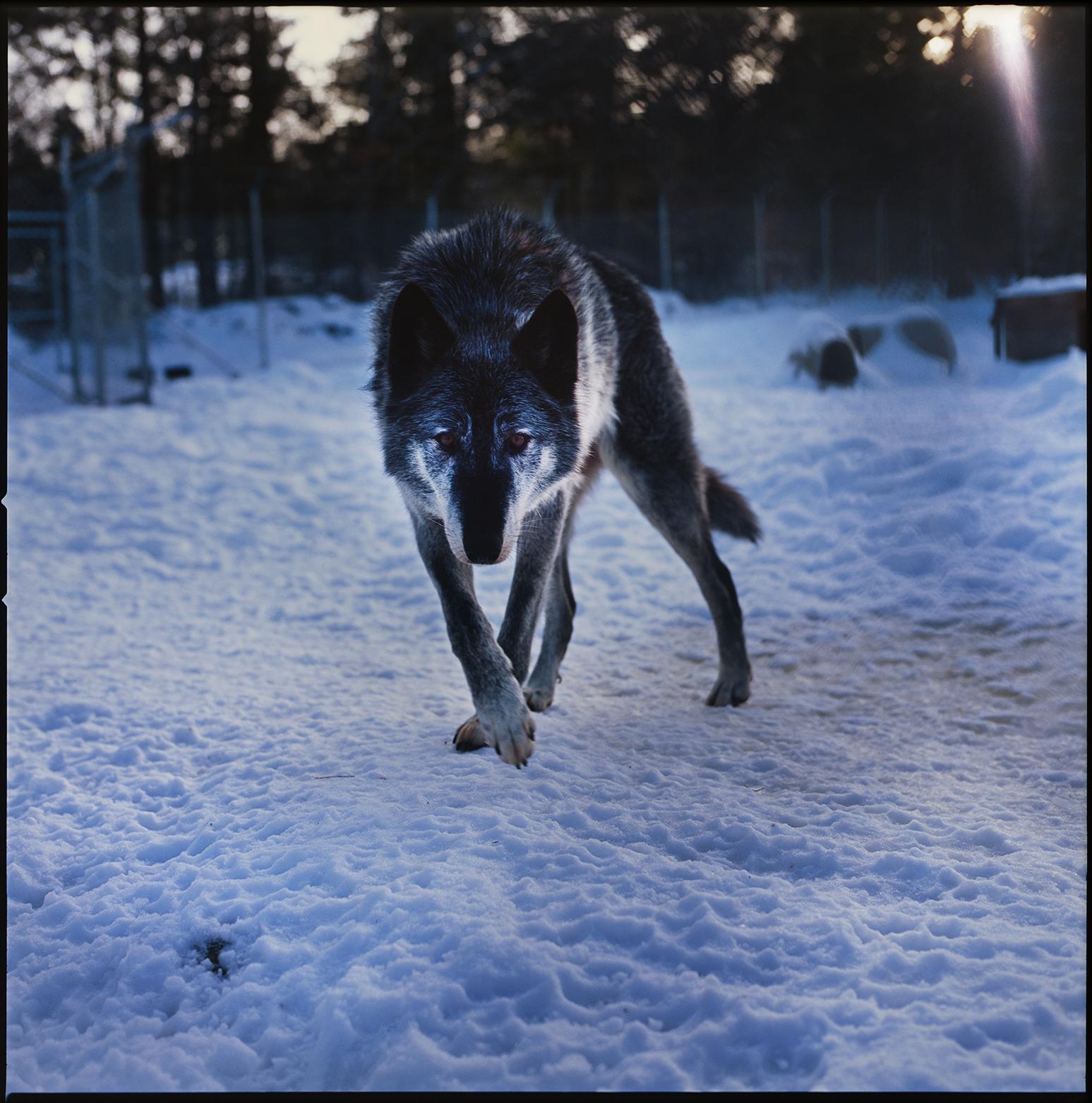 SJ_wolfdog_09.jpg