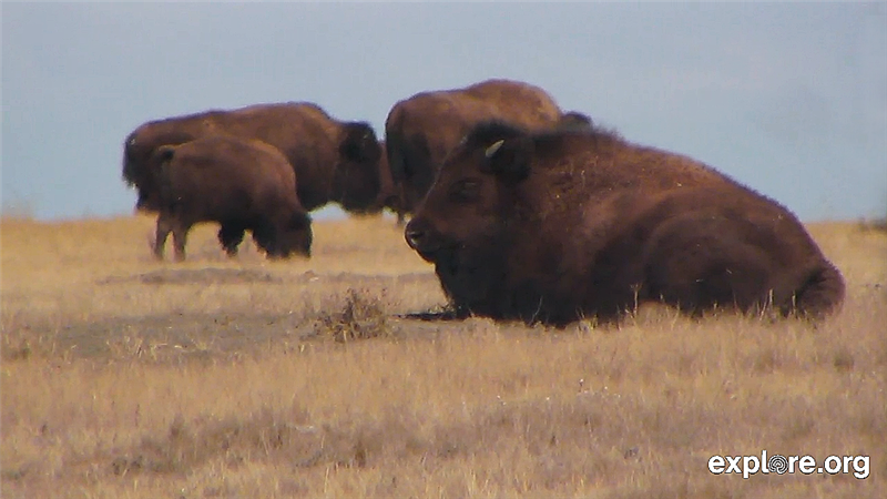 Bison-in-April-512411.jpg.png