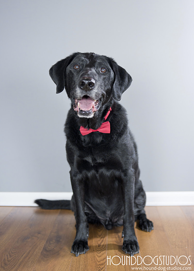 Looking dapper in hid bow tie!   ©2016 Hound Dog Studios