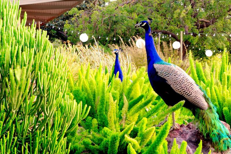 LA Arboretum Places To Go In LA Peacocks.jpg