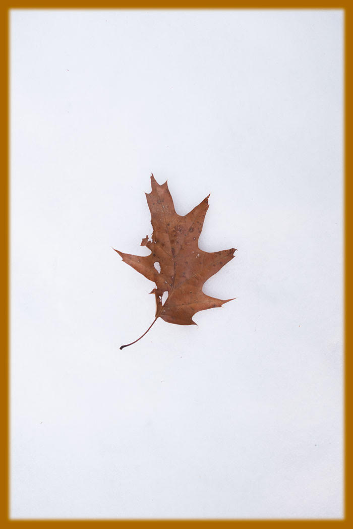 """Photo by THOMAS HOOK (Connecticut-based nature photographer and essayist).He writes:    """"We had our first proper snowfall last weekend. The next day on the white snow was a single, battered oak leaf.    """"This reminded me of what anthropologist Loren Eiseley wrote of the world of primitive men who might see 'portents in the fall of a leaf.' This solitary leaf on the freshly fallen snow stamps autumn as dead and winter as ruling.''"""
