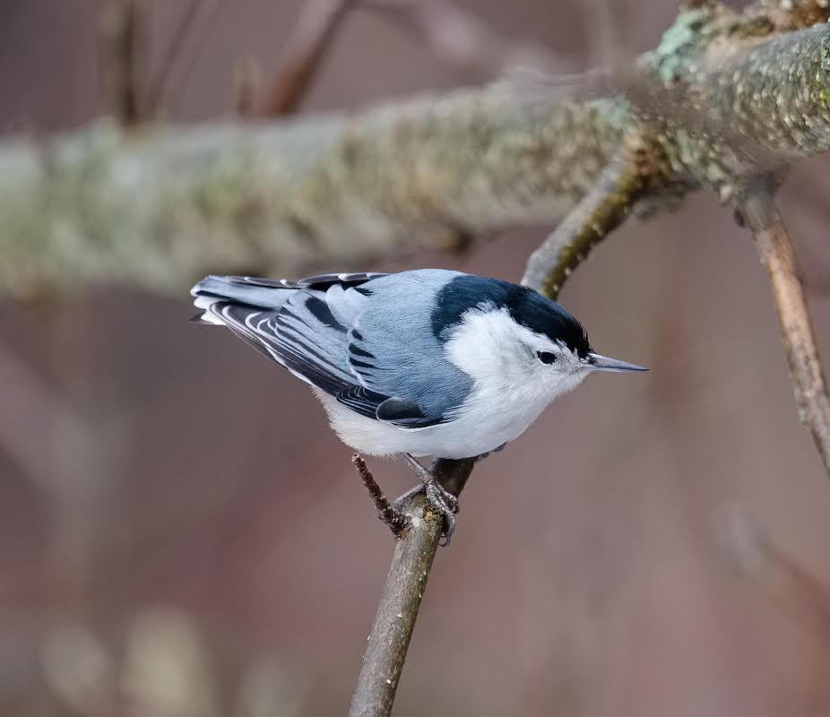 -- Photo by THOMAS HOOK   The White-Breasted Nuthatch, this one in that giant aviary known as Southbury, Conn.,is another tough species that stays in New England year round. Very unfashionable: It winters where it summers.