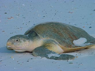 A Kemp's Ridley sea turtle.
