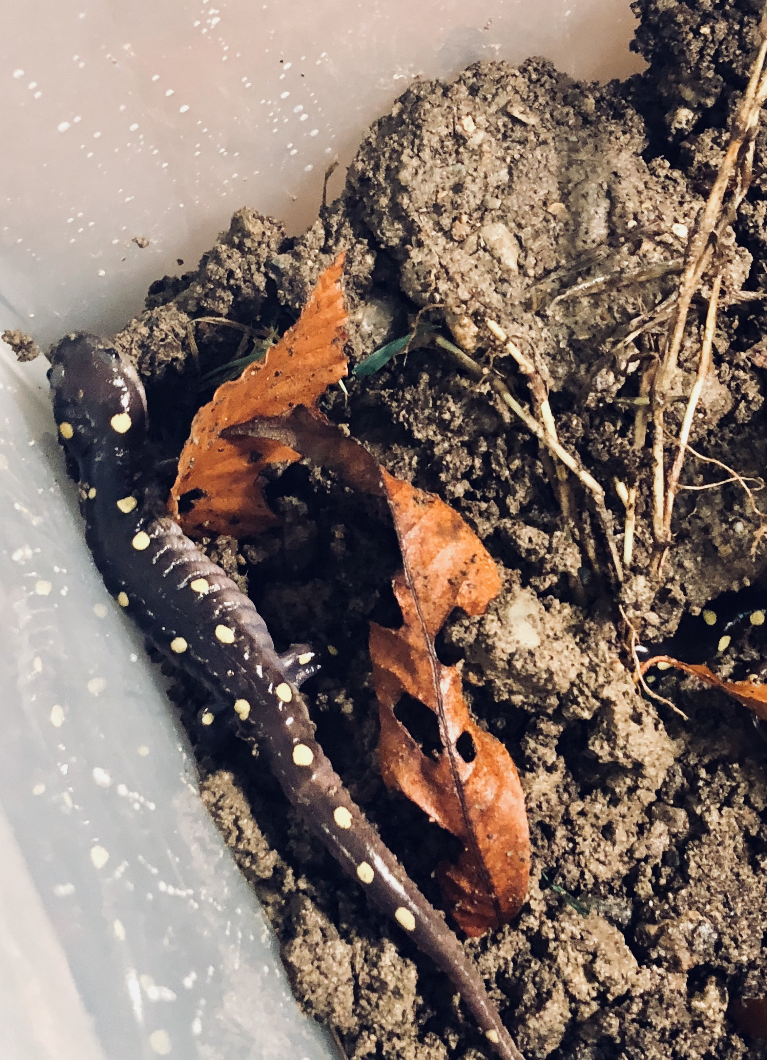 Amazing Salamanders in Little Compton