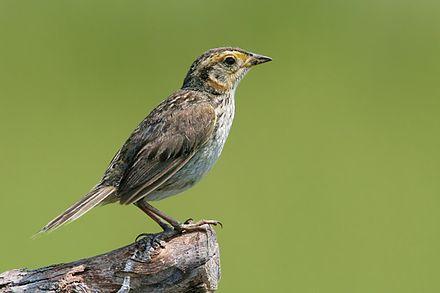 Saltmarsh sparrow.