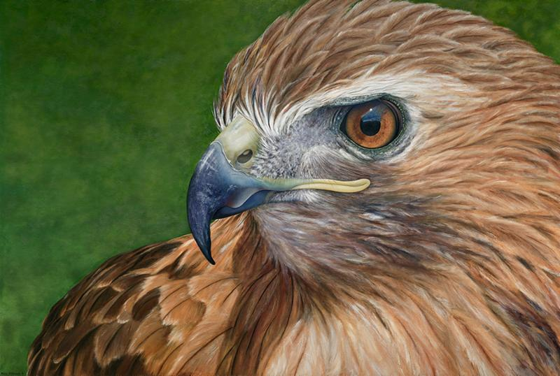 """Falco"" (oil on canvas), by Karie O'Donnell, at the Art Complex Museum, Duxbury, Mass. This image is based on a Red-tailed Hawk at the New England Wildlife Center, Weymouth, Mass."
