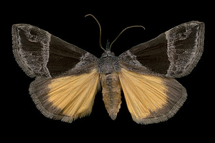 The Hypena opulenta moth. It eats swallow-wort.