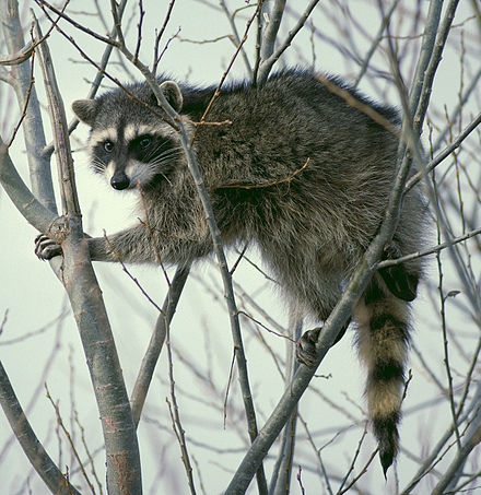 440px-Raccoon_climbing_in_tree_-_Cropped_and_color_corrected.jpg