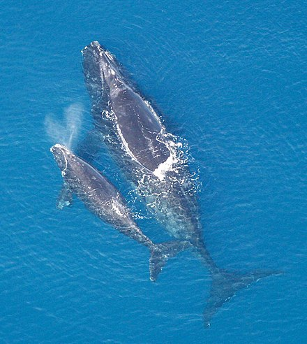 North Atlantic Right Whale with her calf.