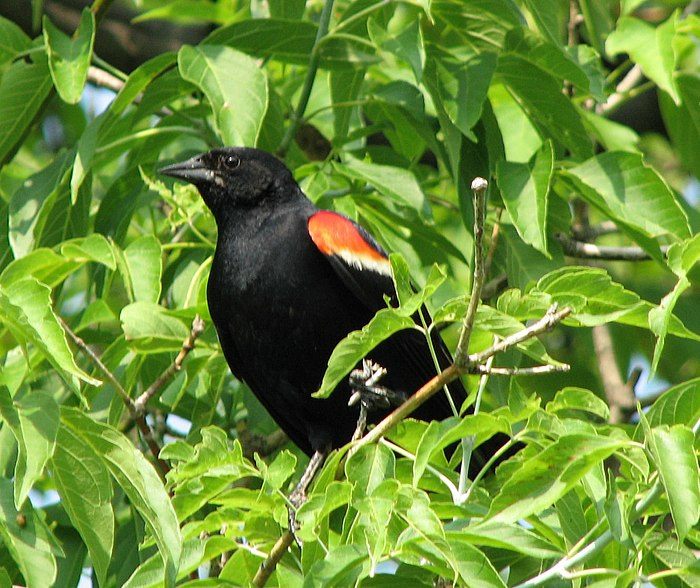 A male Red-Winged Blackbird.
