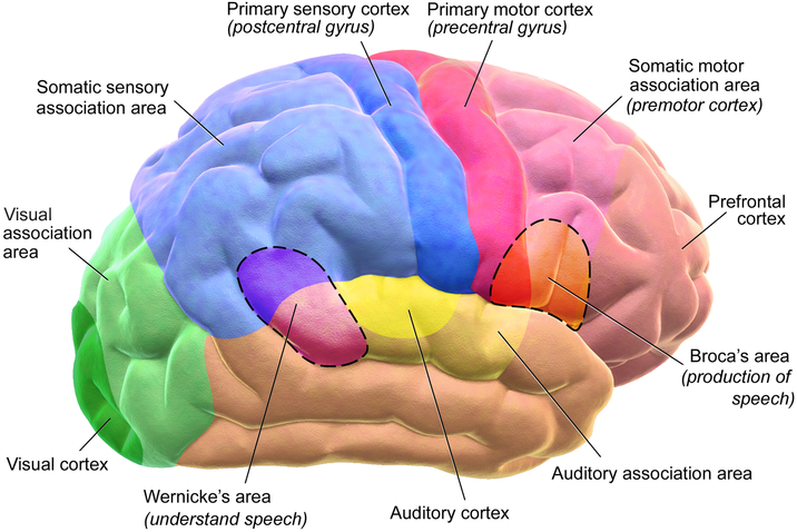 Blausen_0102_Brain_Motor&Sensory_(flipped).png