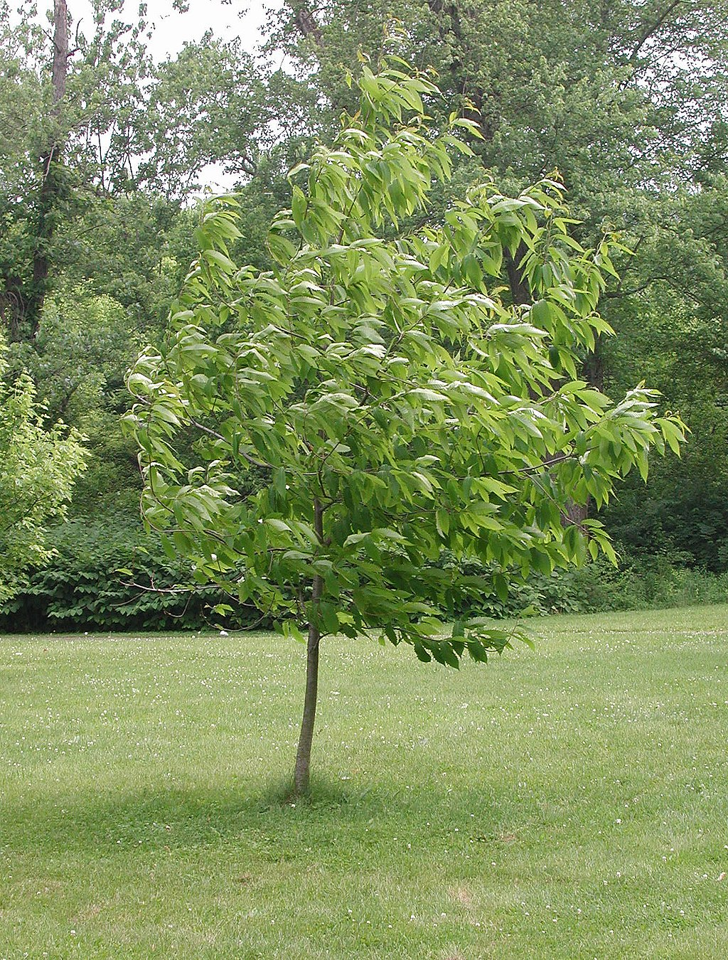 American chestnut field trial sapling from the American Chestnut Cooperators Foundation    — Photo by Jaknouse