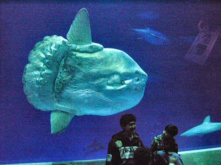 A tank at the    Monterey Bay Aquarium   , in California, provides a size comparison between an ocean sunfish and humans.