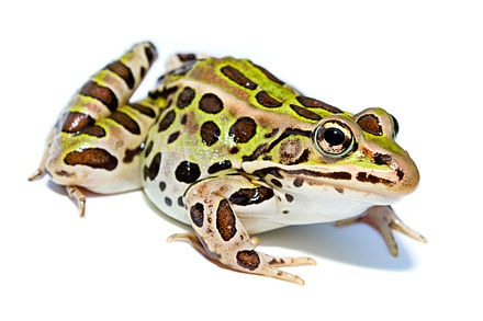 A northern leopard frog, a species that has been disappearing