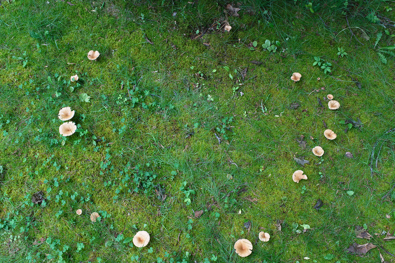 """Thomas Hook, the Southbury, Conn.-based photographer and naturalist who took this picture, explains: """"This circle of mushrooms appeared on my lawn last evening and it's the first I've seen in many years. It medieval times it was known as a 'Fairy Circle,' not to be stepped into for fear you would disappear into some supernatural realm or be faced with an early death were you to step in and then step out. In Germany it was called a 'Witches' Circle,' wherein dancing occurred on Walpurgis Night. Whatever your belief system, it was exciting for me to find, as good as finding a Scarlet Tanager!"""