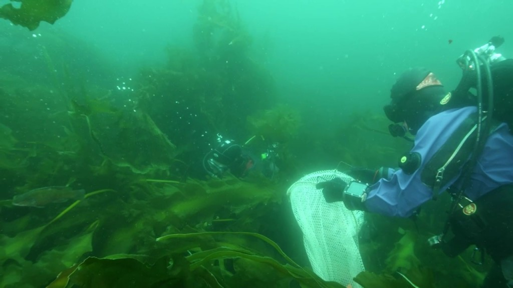 Kelp forest on Cashes Ledge    — Conservation Law Foundation photo
