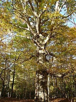 North American Beech tree, an important hardwood