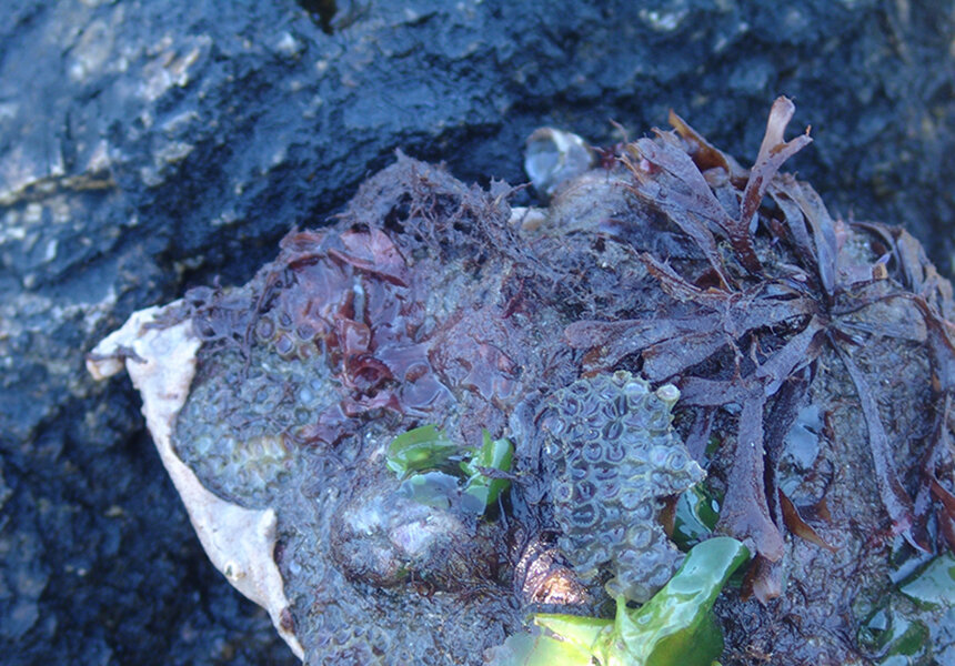Northern Star Coral is found in the waters along the Rhode Island coastline. In this photo, the northern star coral is attached to a rock and near green alga, commonly called sea lettuce, and red alga.    — ecoRI News photo