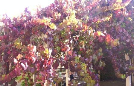 Ornamental_grape.jpg