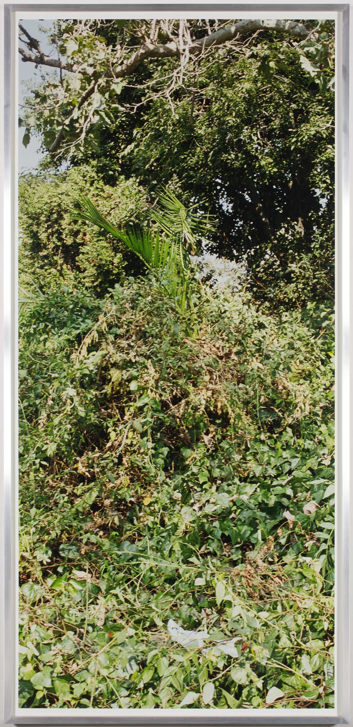 Island Flora #6 (Rte. 101, Southbound)    2005   Chromogenic print  99 1/2 x 47 1/2 inches