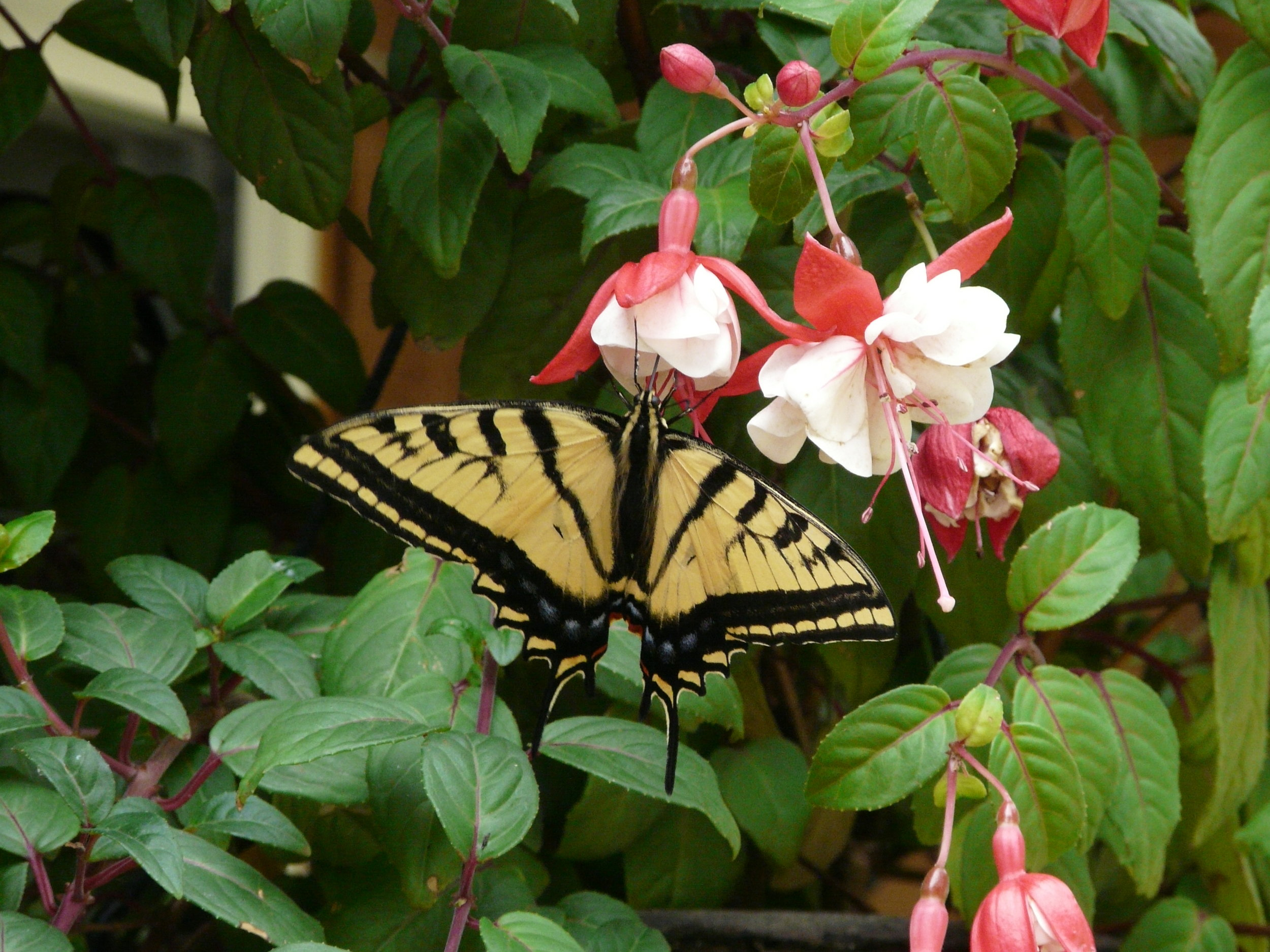 Majestic Monarch on Fuchsia Flowers