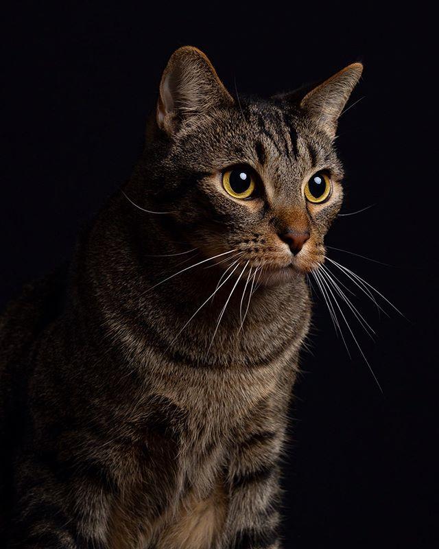 Swipe for kitty 👉⠀⠀ ⠀⠀ ⠀⠀ ⠀⠀ #portraitoftheday #petportraits #shotoncanon #profoto #profotob1 #profotousa #canon5d #freelancephotographer #freelancevideographer #freelance #nycphotographer #portrait #nyc #brooklyn #catsofinstagram #catoftheday #petportrait #canon5dmarkiv