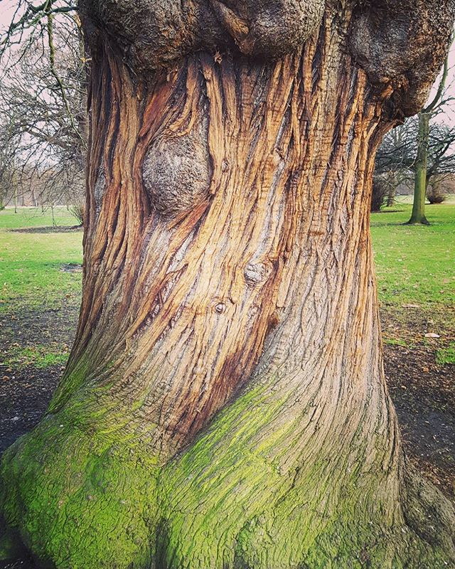 Des fois j'ai presque l'impression qu'il est vivant 😁 #lordoftherings #ents #tree #hydepark #frenchinlondon
