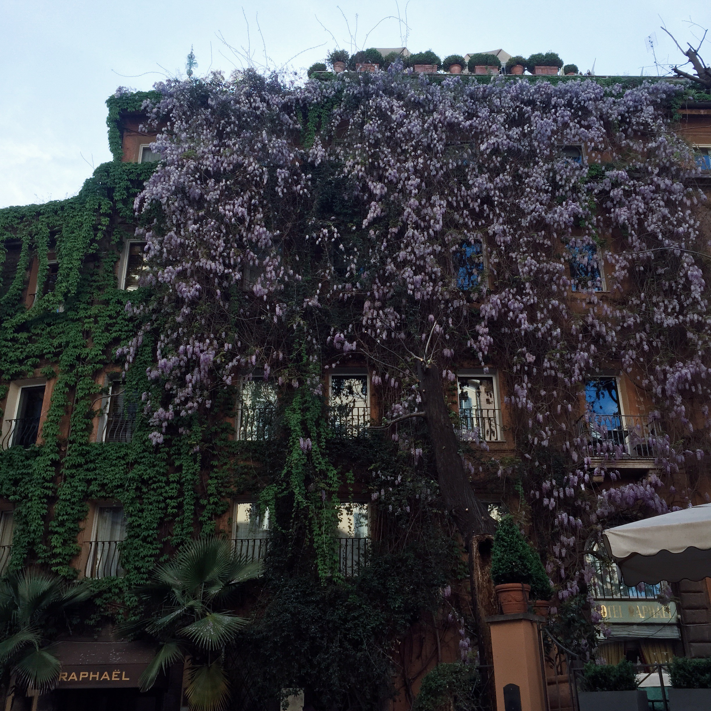 A hotel covered with wisteria