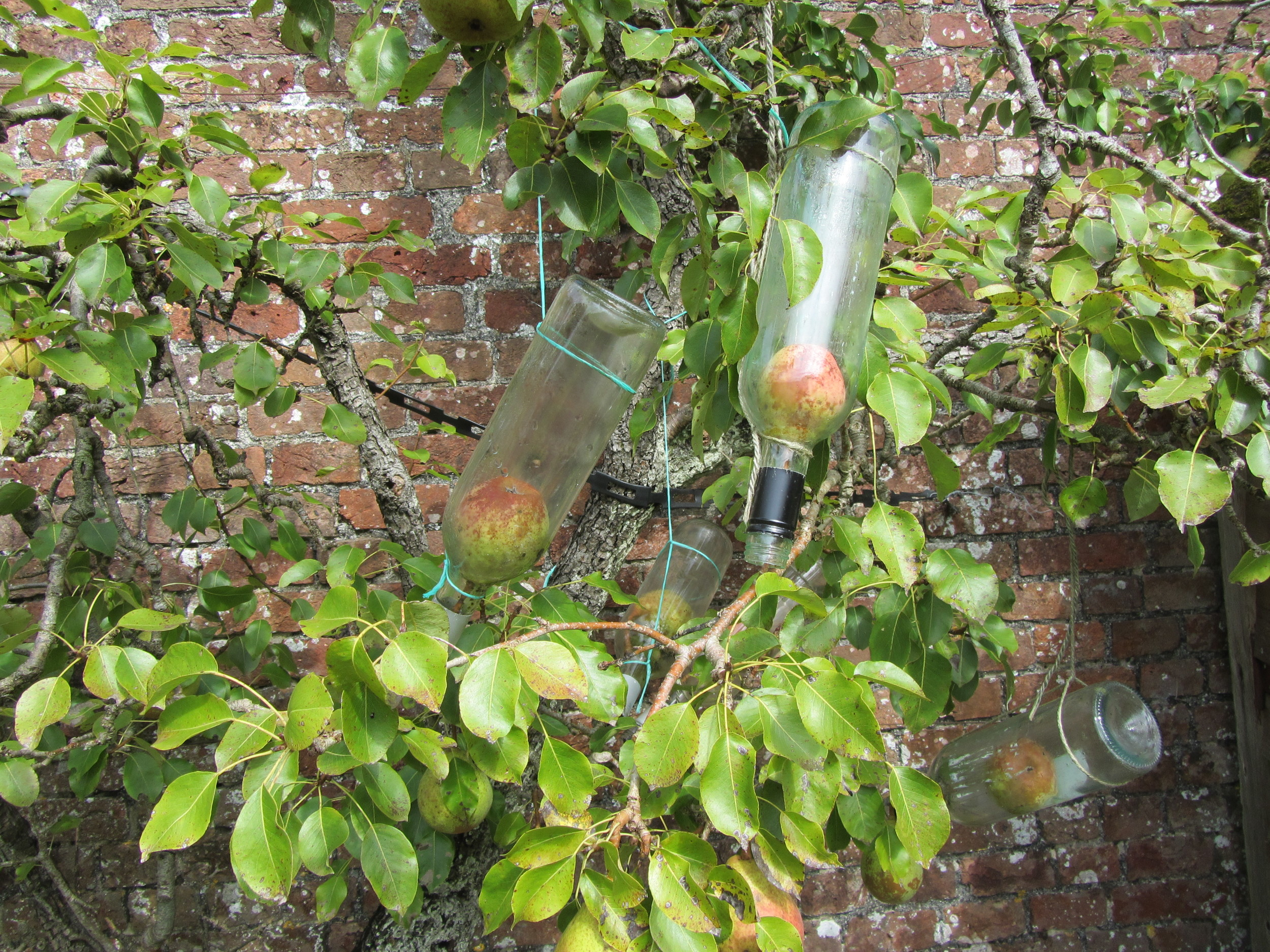 Pears in bottle Deans Court Dorset