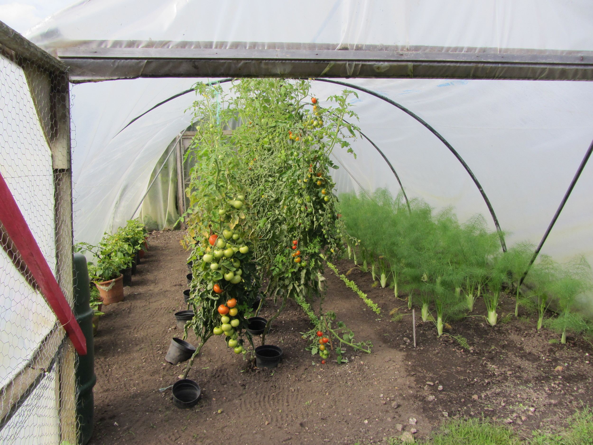 Tomatoes and fennel grow at Deans Court, Dorset