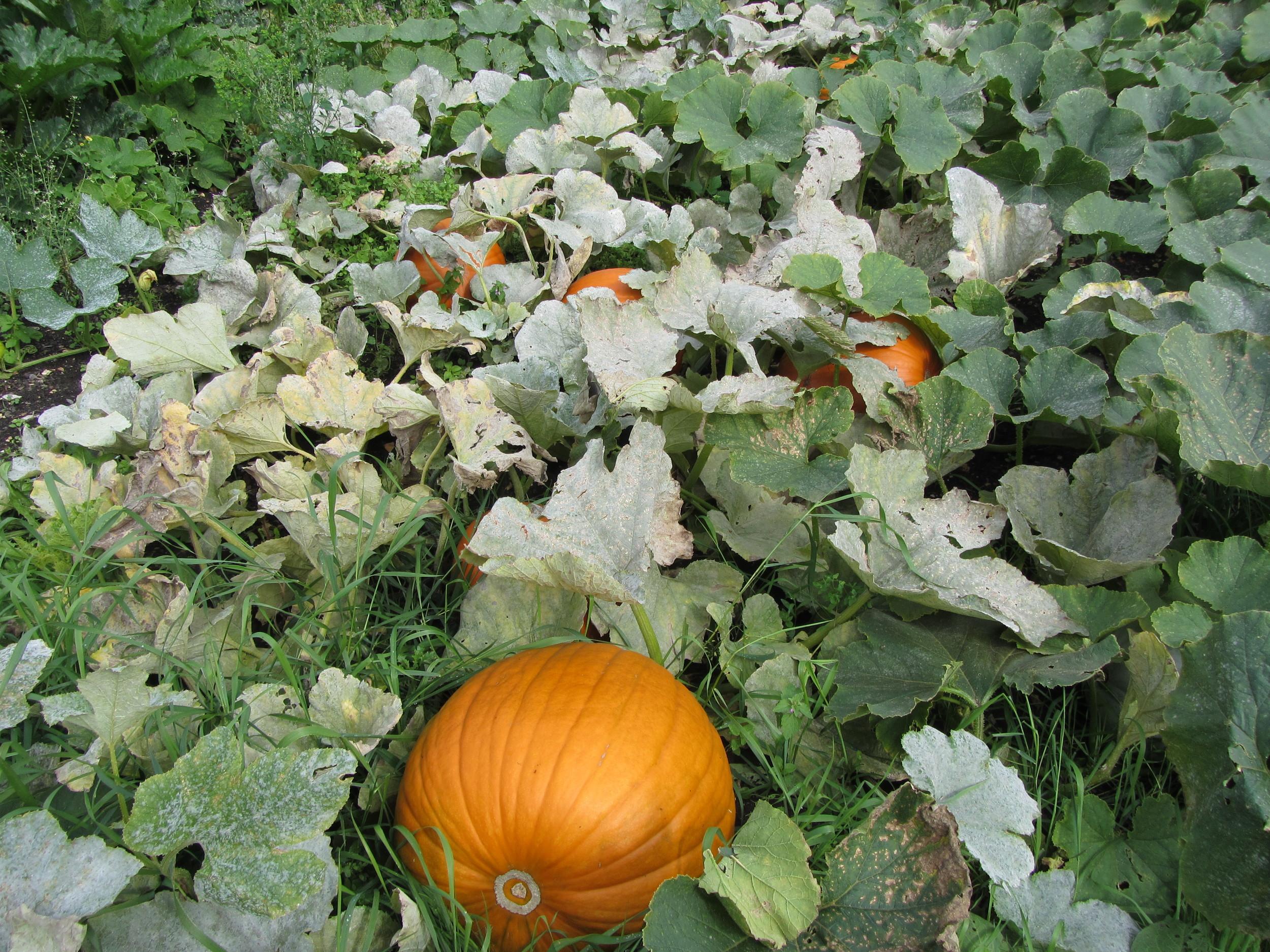Pumpkins growing at Deans Court, Dorset