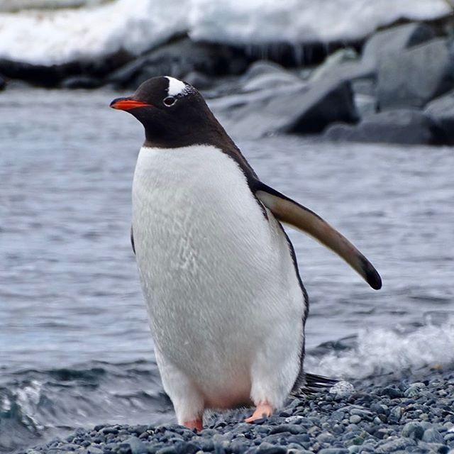 Gentoo Penguin #antarctica #canadianblogger #travelblogger