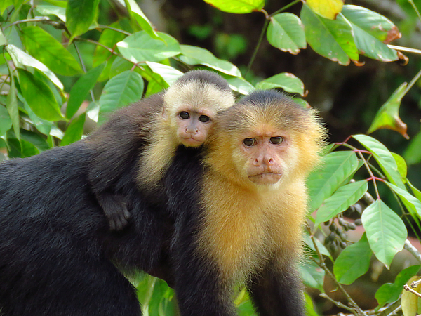 White-faced_Capuchin_JS_600.jpg