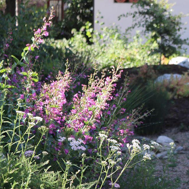 Calistoga yarrow with penstemon inflorescence. Winning combination. . . . . #Landscape #gardens #california #ca #claremont #claremont #glendora #pasadena #handcrafted #luxe #design #designer #landscape #architecture #californianative