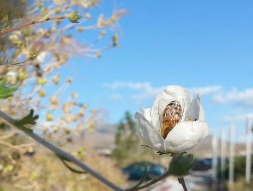 2013 Bee in unknown flower, Desert Research Institute, Reno, NV